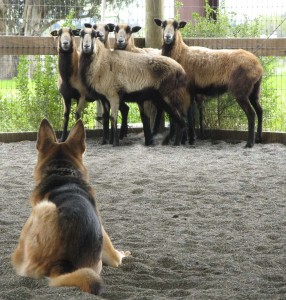 German Shepherd Sheep Dog